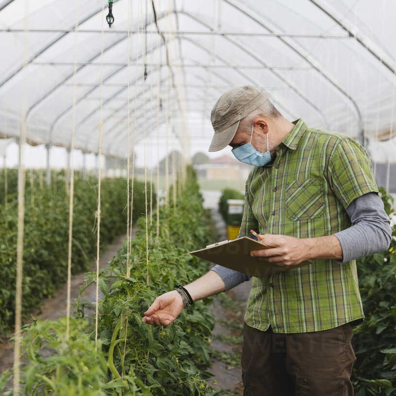 farmer-with-mask-in-the-greenhouse-with-organic-cultivation-of-tomatoes-MRAF00569